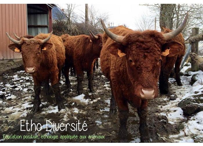 ethologie-vaches-animal
