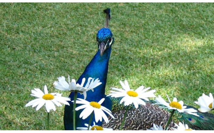 paon-oiseau