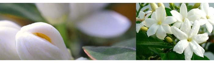jasmin-fleurs-blanc